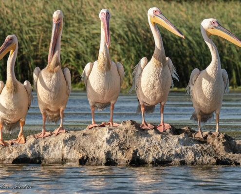 Great white pelicans - Pelicani comuni - Pelecanus onocrotalus