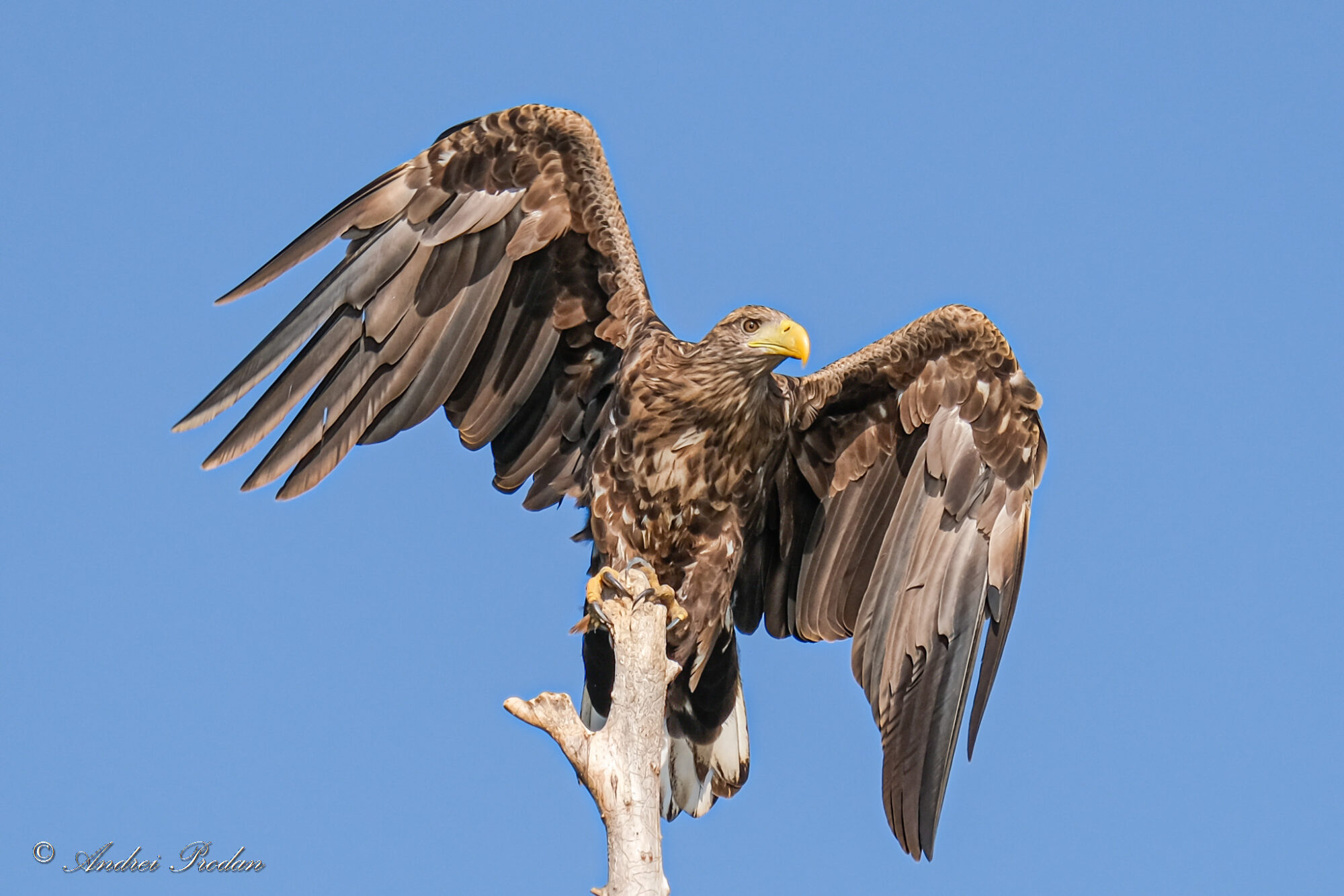 White-tailed eagle - Codalb - Haliaeetus albicilla