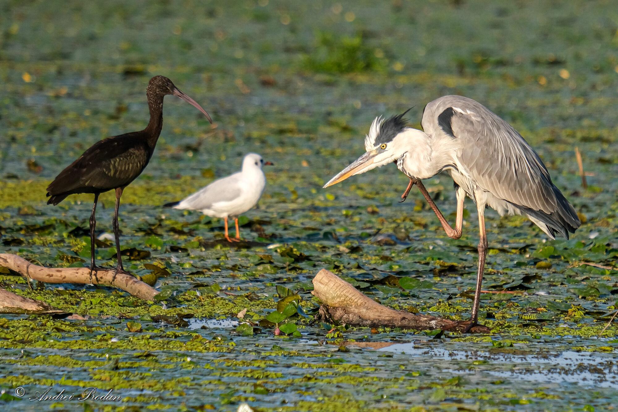Grey heron and Glossy ibis