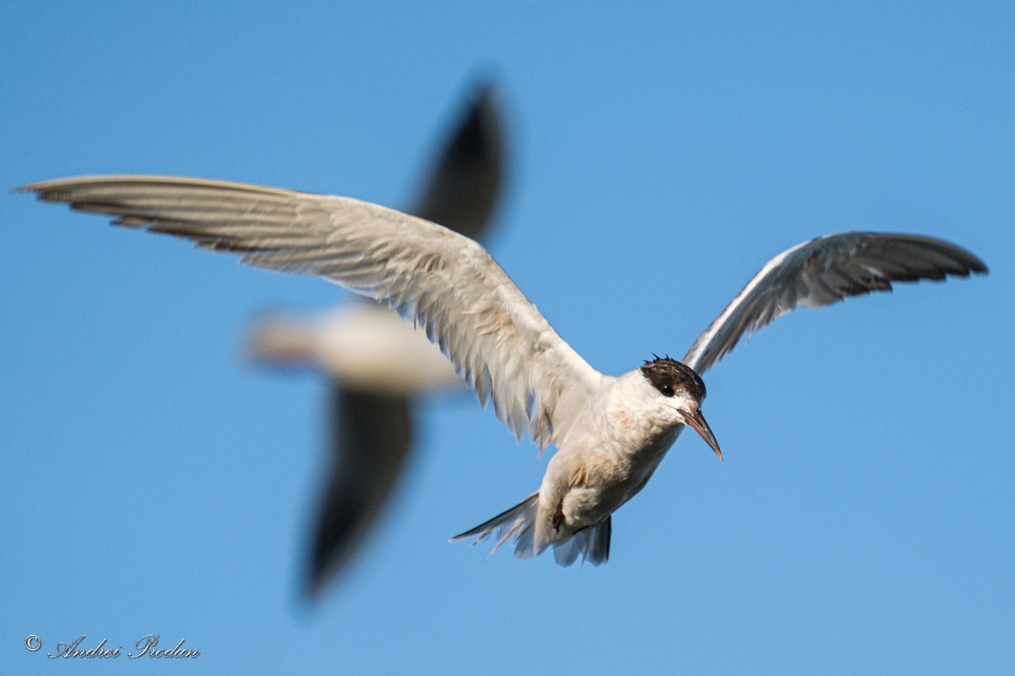 Common tern - Chira de balta - Sterna hirundo