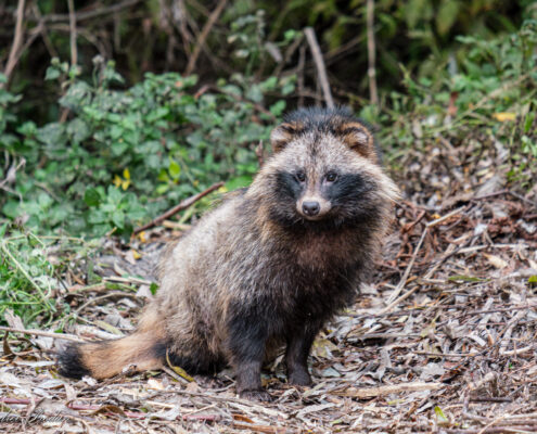 Raccoon dog - Caine enot - Nyctereutes procyonoides