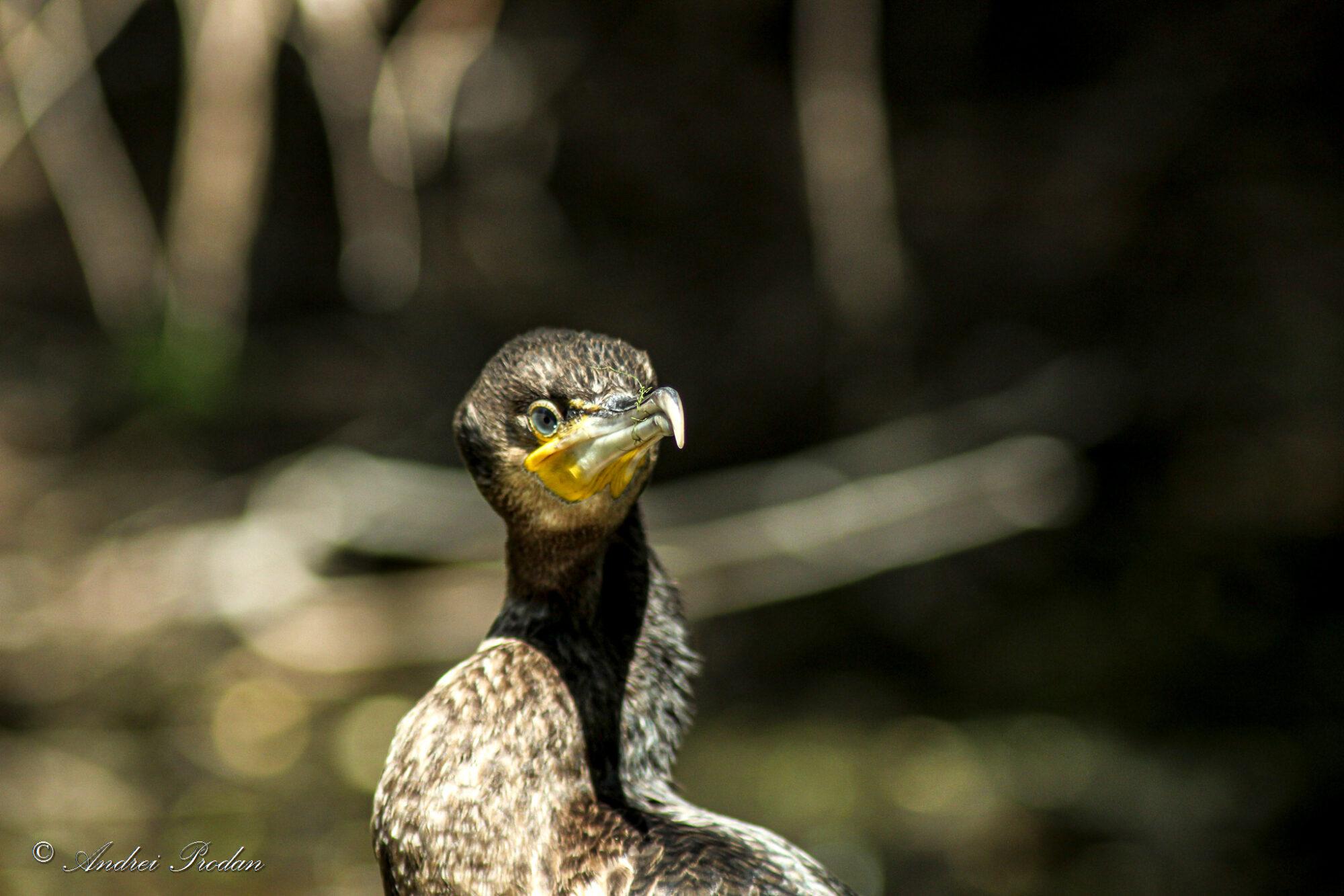 Great cormorant - Cormoran mare - Phalacrocorax carbo