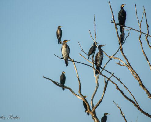 Great cormorants in the tree
